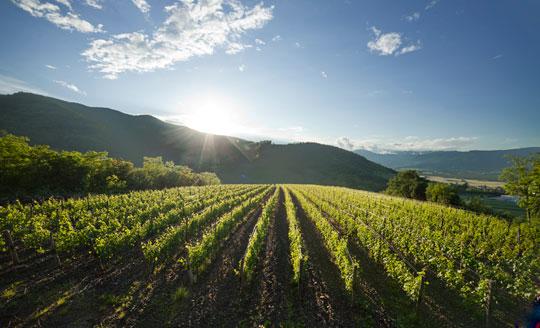 pasji rep vineyard